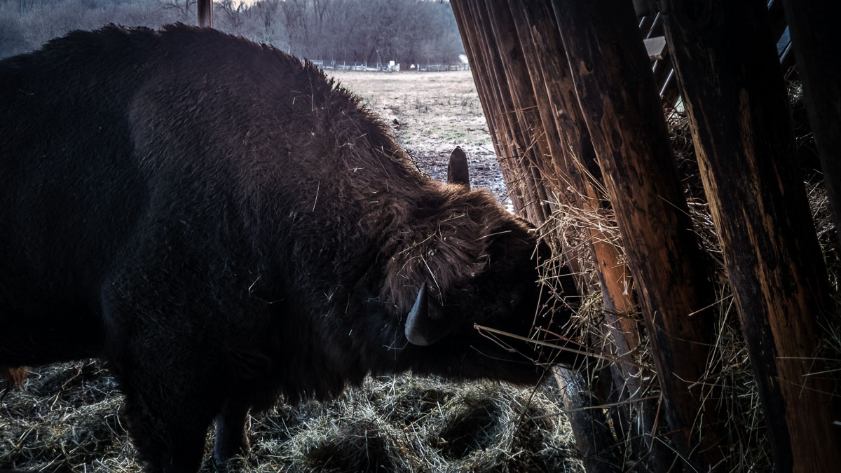 Bison eating in the barn.
