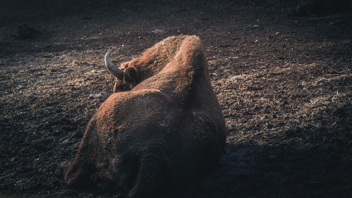 Bison resting in the mud.