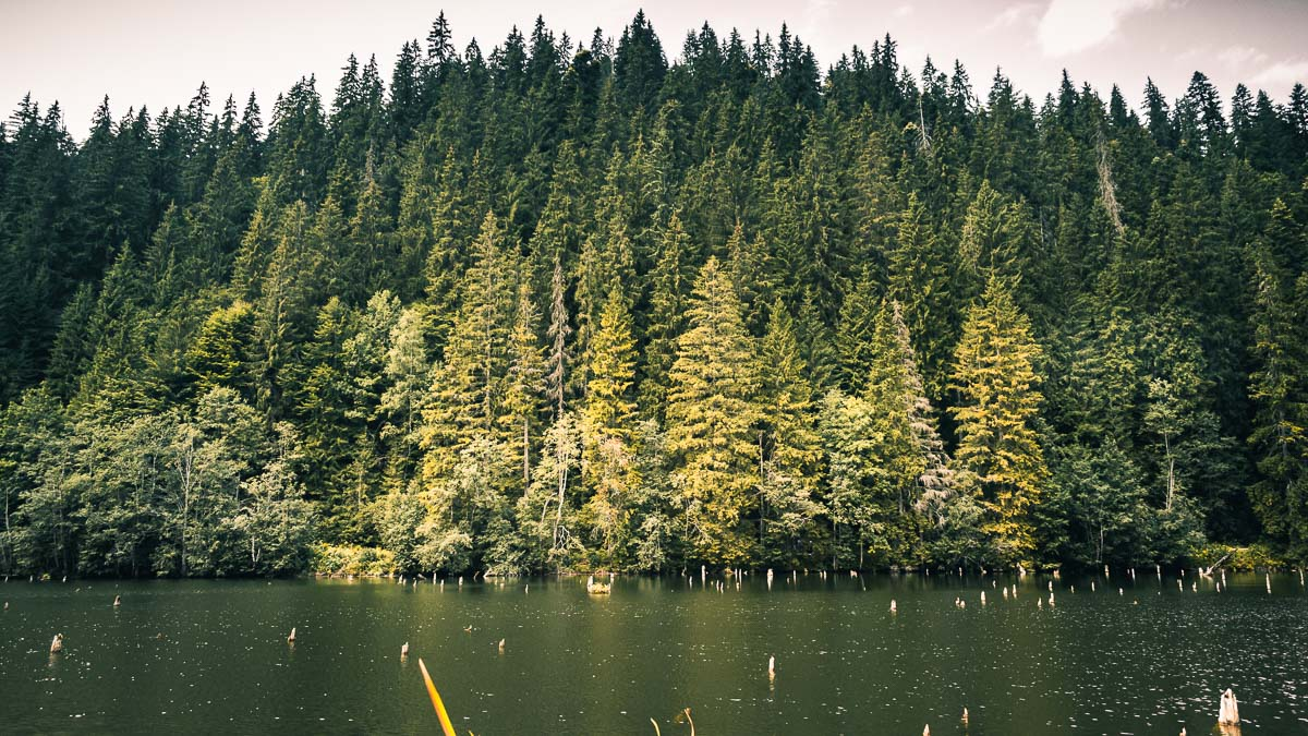 Pine forest next to the lake.